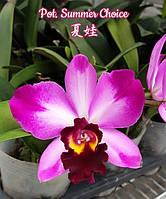 "Уценка, см фото Орхидея. Каттлея Summer choice', размер 2.5"" без цветов, фото 1"