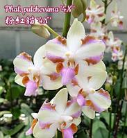 "Орхидея Pulcherrima 4N, размер 2.5"" без цветов"