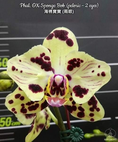 Детка орхидеи Sponge bob, без цветов, диаметр горшка 5 см