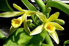 Орхидея ваниль Vanilla planifolia variegata, черенок без цветов, горшок 1.7
