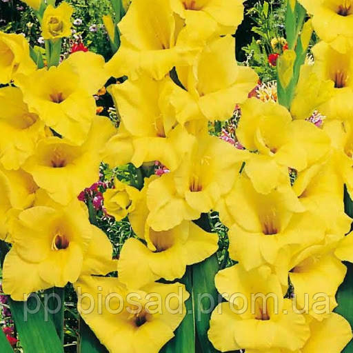 Гладиолус Yellow (3 шт.)