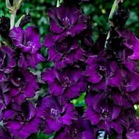 Гладиолус Purple  (3 шт.)
