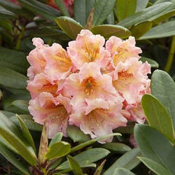 РОДОДЕНДРОН (Rododendron)