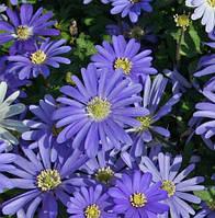 Анемона Blanda Blue Shades (3шт.)