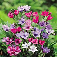 Бабиана Kew hybrids (3 шт.)