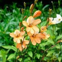 Тритония Laxifolia (3 шт.)