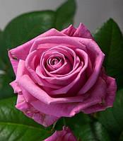 № 3. Саджанці троянд 'Аква'