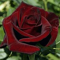 № 17. Саджанці троянд 'Блек Меджик'