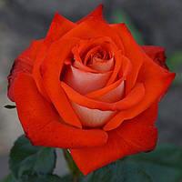 """Саджанці троянд """"Верано"""", фото 1"""