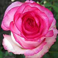 № 12-1. Саджанці троянд 'Дольче Віта 2000'