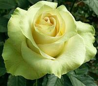"""Саджанці троянд """"Ківі"""", фото 1"""
