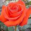 № 108. Троянда 'Корвет'