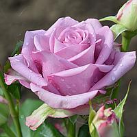 """Саджанці троянд """"Кул Вотер"""" (""""Діп Вотер""""), фото 1"""