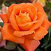"Саджанці троянд ""Луї Де Фюнес"""
