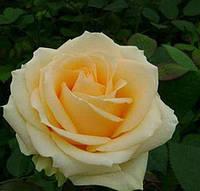 """Саджанці троянд """"Піч Аваланш"""", фото 1"""