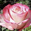 № 74. Саджанцi троянд 'Світнес'