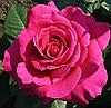 "№ 150. Саджанці троянд ""Юріанда"""