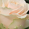 """Саджанці троянд """"Талєя"""""""