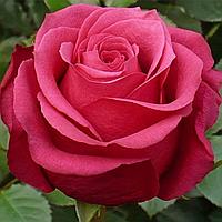 Саджанці троянд 'Амалія'