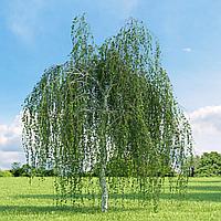 Береза повисла (копані, висота від 250 см, Ø 6 см)
