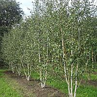 Береза корисна Жакмана (копані, висота від 150 см, Ø 2см)
