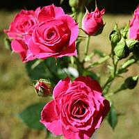 № 50. Саджанцi троянд 'Лавлі Лідія'