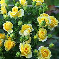 № 82-1. Саджанцi троянд 'Санрайз'