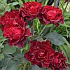 """Саджанці троянд """"Таманго"""""""