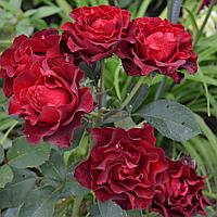 """Саджанці троянд """"Таманго"""", фото 1"""