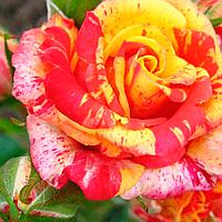 """Саджанці троянд """"Фаєр Флеш"""""""