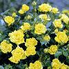 Троянда Яскраво-Жовта 'Єллоу Долл'