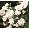 Саджанцi троянд 'Аспен'