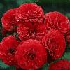 Саджанцi троянд 'Кордула'