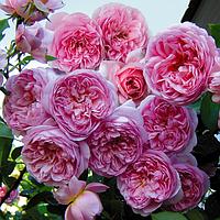 Саджанцi троянд 'Соня'
