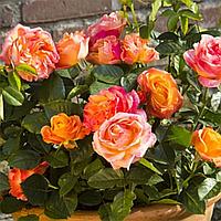 Троянда Червоно-Жовта 'Антікуа'