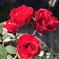 № 91. Саджанцi троянд 'Ред Капелька', фото 1