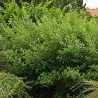 Верба Тонкостовбурова Чорноколосовидна (ЗКС; горшок 2 л)