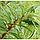 Верба 'Голден Саншайн' (ЗКС; горшок 2 л), фото 2