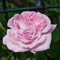 """№ 18. Саджанці троянд """"Блосомтайм"""""""
