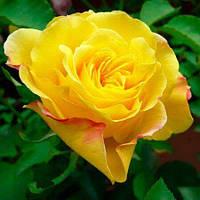 "№ 30-1. Саджанці троянд ""Гольдштерн"""