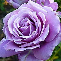 "Саджанці троянд ""Індиголетта"" (ІндІголета, Індіголетта, Indigoletta)"