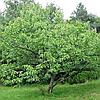Каштан їстівний (копані, висота від 240 см)