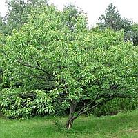 Каштан їстівний (копані, висота від 240 см), фото 1