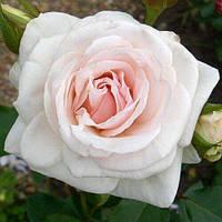 """№ 88. Саджанці троянд """"Шванензее"""", фото 1"""