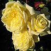 """№ 151. Саджанці троянд """"Казино"""""""