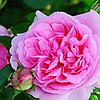 """Саджанці троянд """"Нахема"""""""