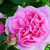 """Саджанці троянд """"Нахема"""", фото 1"""