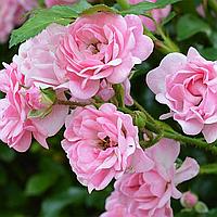 Троянда бордюрна 'Фейрі' (2 л)