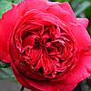 № 75-1. Саджанці троянд 'Флорентина'