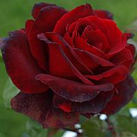 """№ 35. Саджанці троянд """"Дон Жуан"""", фото 1"""